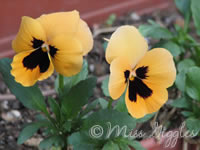 April 21, 2007 – pansies