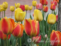 April 23, 2007 – tulips