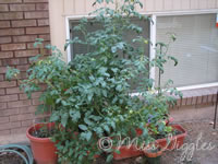 August 16, 2007 – tomato trees