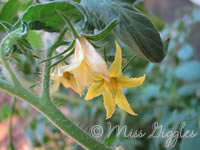 August 27, 2007 – tomato flowers