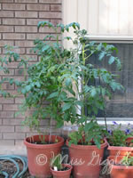 July 7, 2007 – my tomato trees