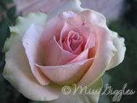 July 15, 2007 – rose