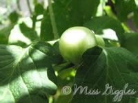 July 28, 2007 – baby tomato