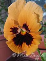 June 10, 2007 – still blooming