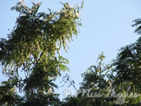 June 17, 2007 – tree tops