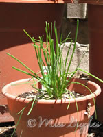 June 20, 2007 – MY chives