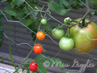 October 4, 2007 – fresh tomatoes