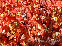 October 9, 2007 – fall leaves